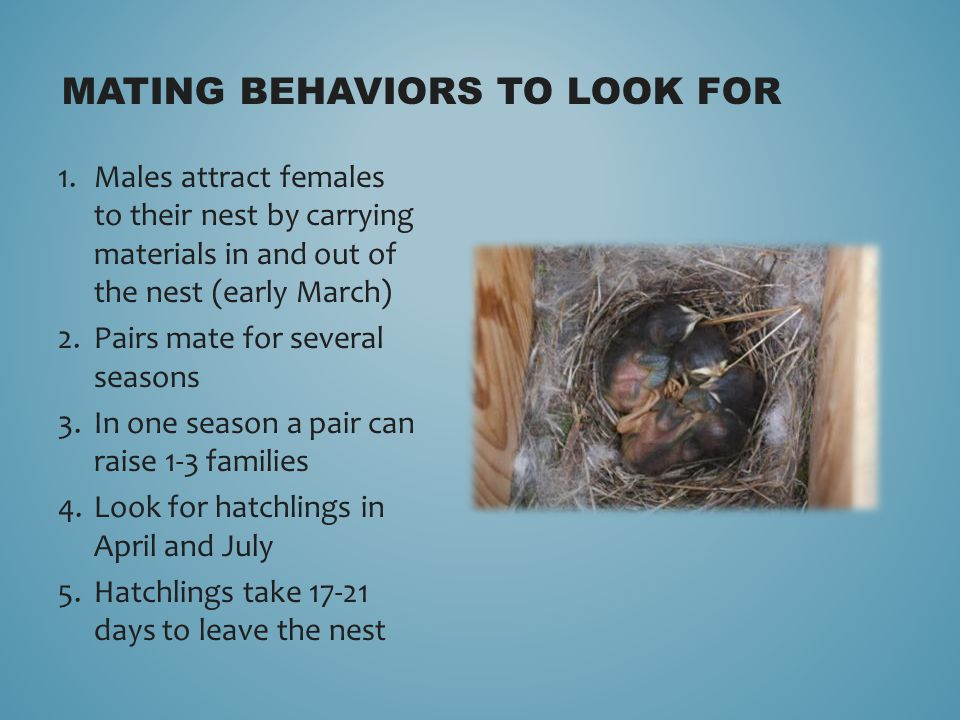 MATING BEHAVIORS TO LOOK FOR 1.Males attract females to their nest by carrying materials in and out of the nest (early March) 2.Pairs mate for several seasons 3.In one season a pair can raise 1-3 families 4.Look for hatchlings in April and July 5.Hatchlings take 17-21 days to leave the nest