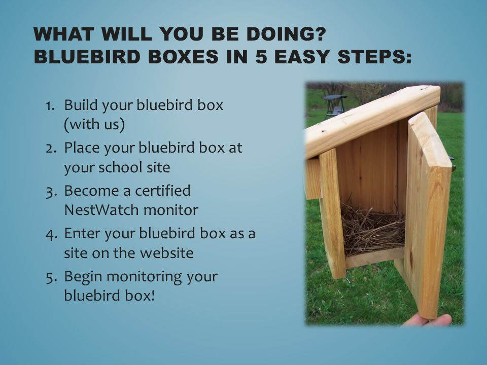 1.Build your bluebird box (with us) 2.Place your bluebird box at your school site 3.Become a certified NestWatch monitor 4.Enter your bluebird box as a site on the website 5.Begin monitoring your bluebird box.