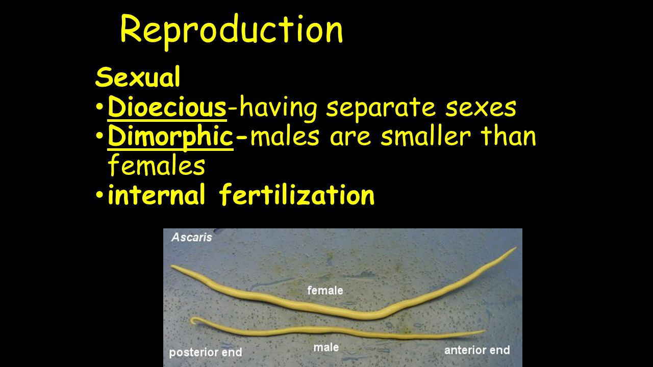 Reproduction Sexual Dioecious-having separate sexes Dimorphic-males are smaller than females internal fertilization