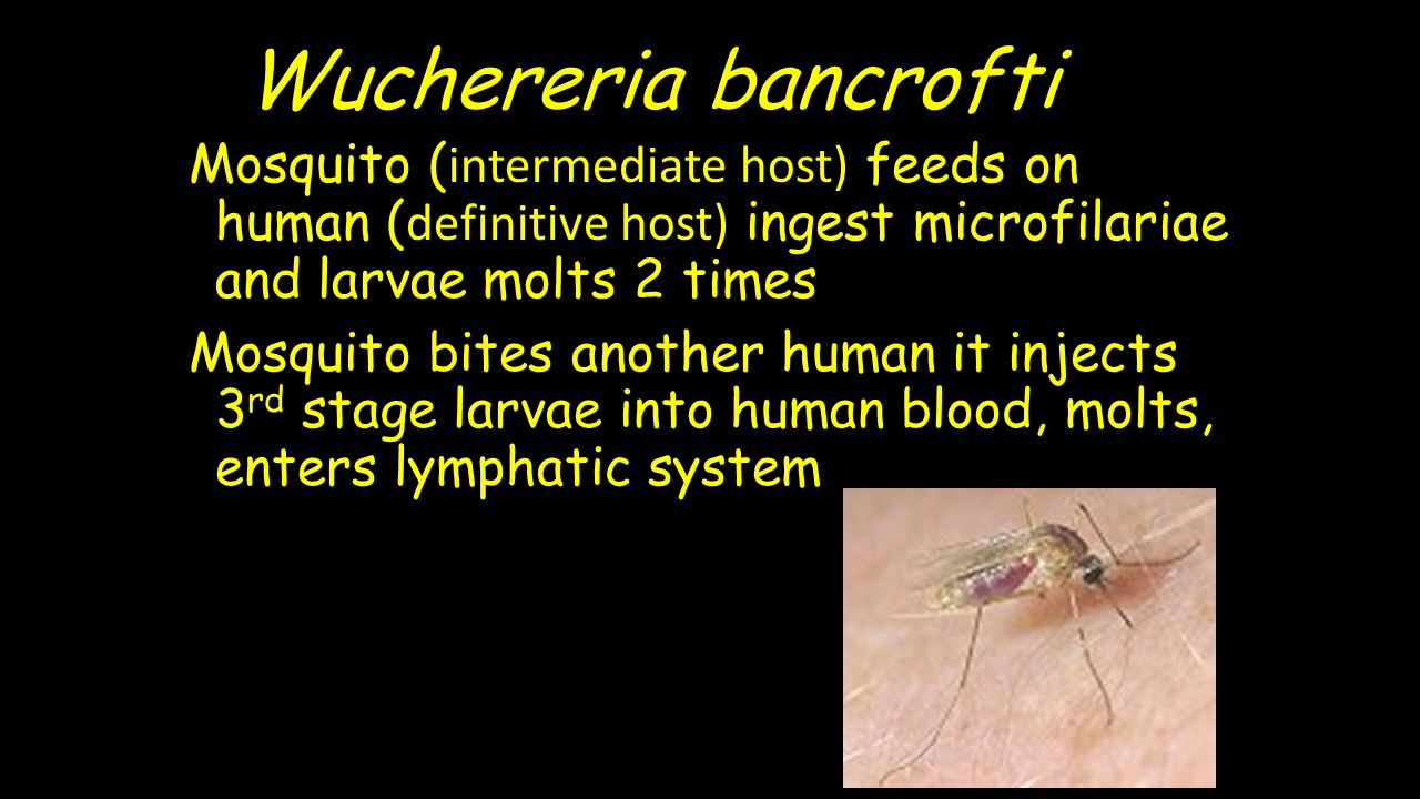Wuchereria bancrofti Mosquito ( intermediate host) feeds on human ( definitive host) ingest microfilariae and larvae molts 2 times Mosquito bites anot
