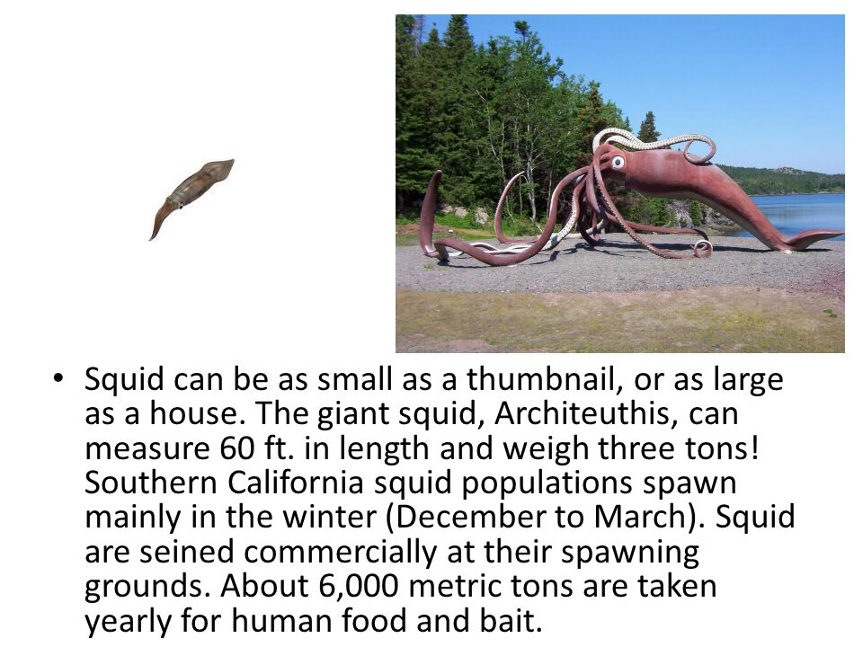 Squid can be as small as a thumbnail, or as large as a house. The giant squid, Architeuthis, can measure 60 ft. in length and weigh three tons! Southe