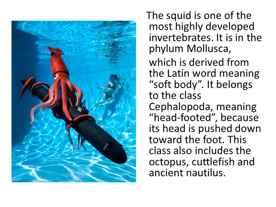 """The squid is one of the most highly developed invertebrates. It is in the phylum Mollusca, which is derived from the Latin word meaning """"soft body"""". I"""