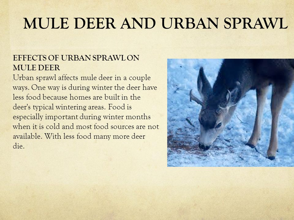 EFFECTS OF URBAN SPRAWL ON MULE DEER Urban sprawl affects mule deer in a couple ways. One way is during winter the deer have less food because homes a