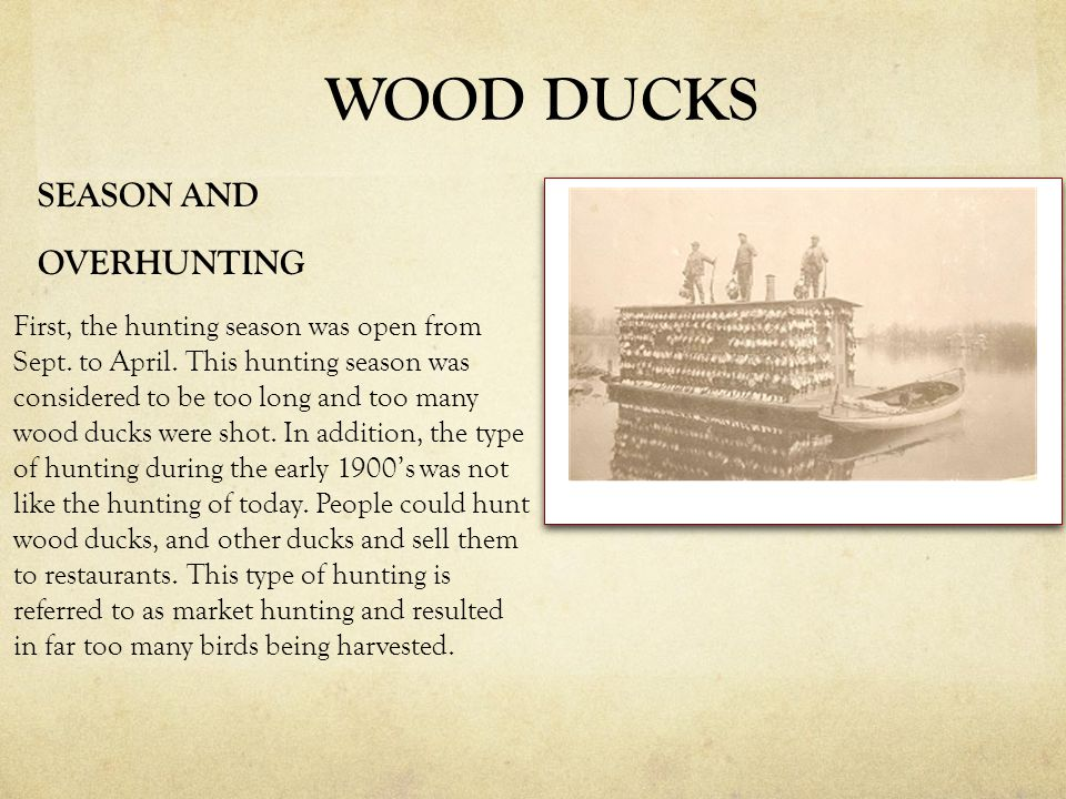 SEASON AND OVERHUNTING First, the hunting season was open from Sept. to April. This hunting season was considered to be too long and too many wood duc