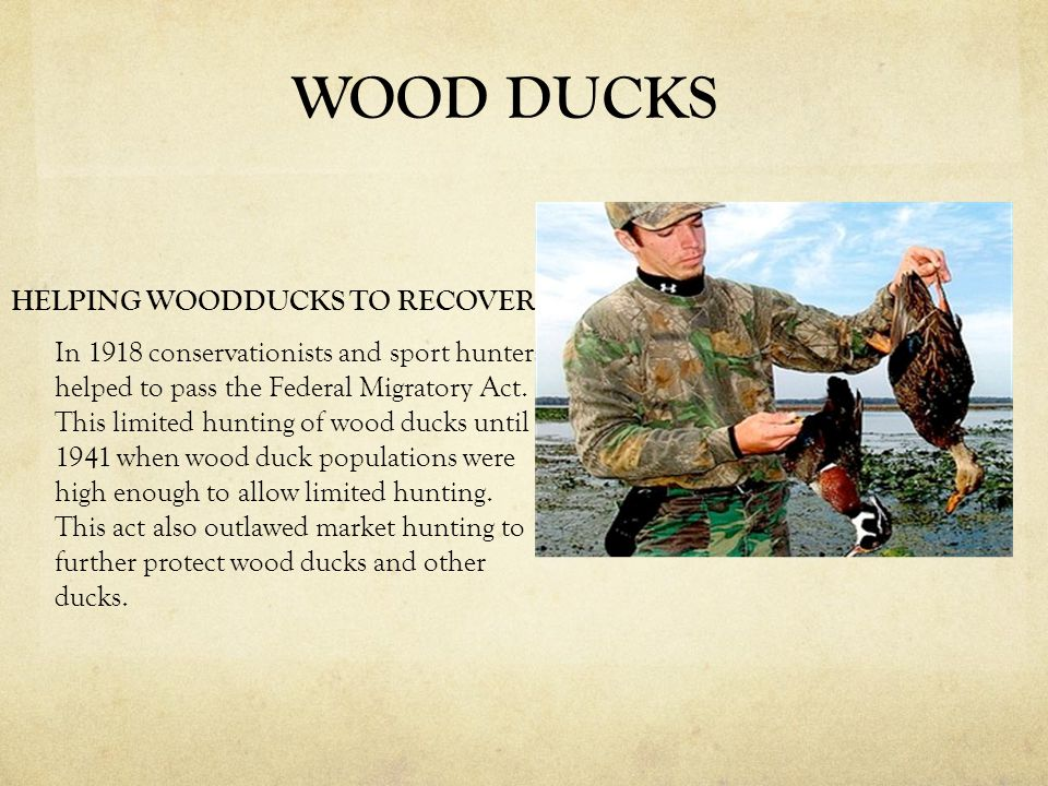 HELPING WOODDUCKS TO RECOVER In 1918 conservationists and sport hunters helped to pass the Federal Migratory Act. This limited hunting of wood ducks u