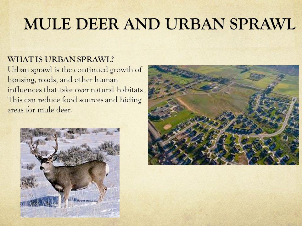 EFFECTS OF URBAN SPRAWL ON MULE DEER Urban sprawl affects mule deer in a couple ways.