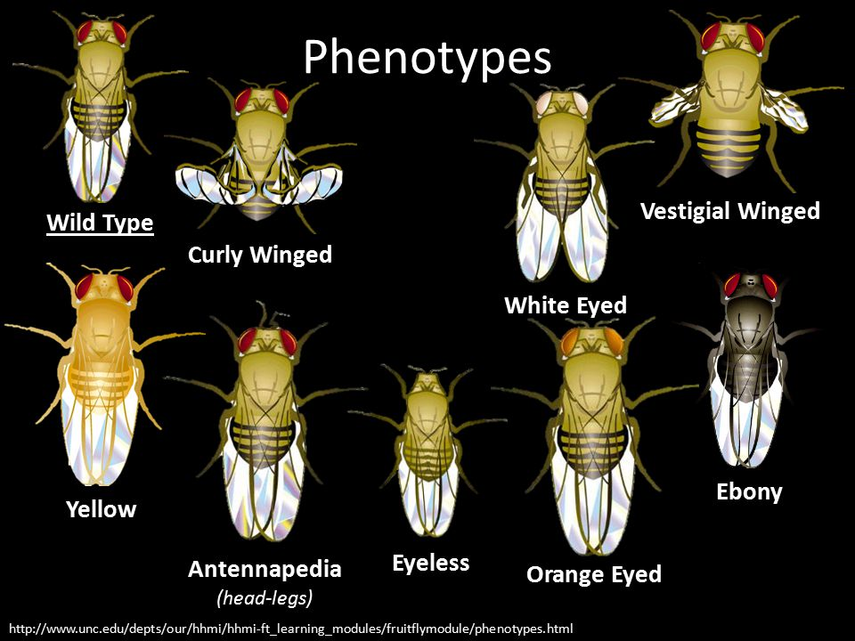 Phenotypes http://www.unc.edu/depts/our/hhmi/hhmi-ft_learning_modules/fruitflymodule/phenotypes.html Wild Type Vestigial Winged Curly Winged Yellow Eb