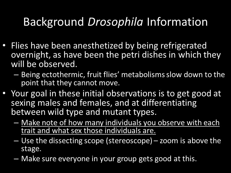 Background Drosophila Information Flies have been anesthetized by being refrigerated overnight, as have been the petri dishes in which they will be ob