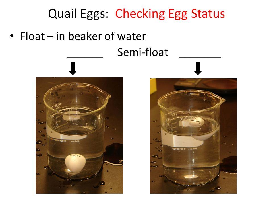 Quail Eggs: Checking Egg Status Float – in beaker of water ______ Semi-float _______
