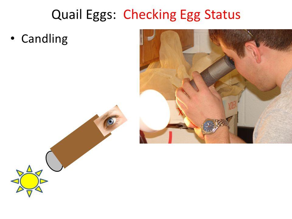 Quail Eggs: Checking Egg Status Candling