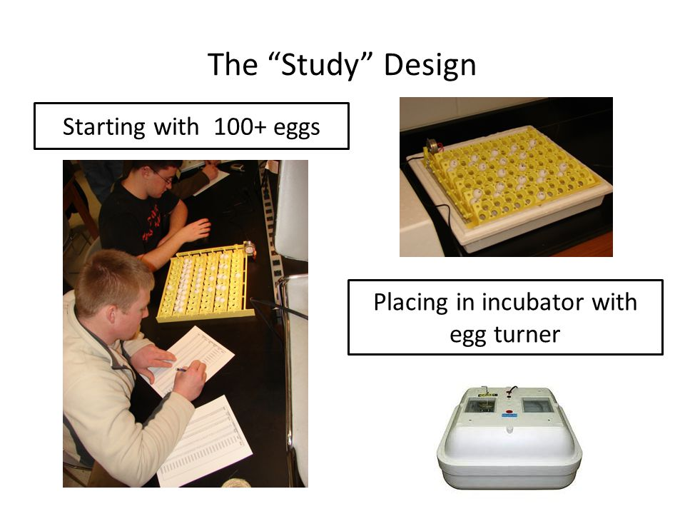 The Study Design Starting with 100+ eggs Placing in incubator with egg turner
