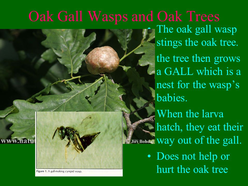 Oak Gall Wasps and Oak Trees The oak gall wasp stings the oak tree.
