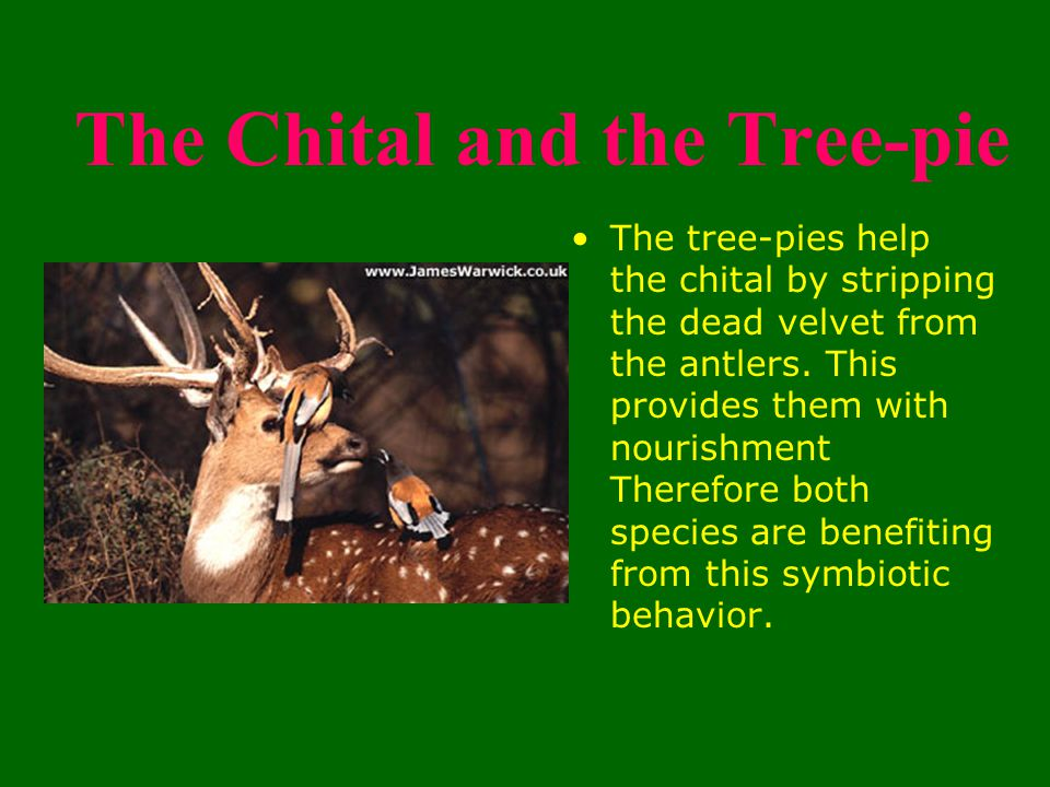 The Chital and the Tree-pie The tree-pies help the chital by stripping the dead velvet from the antlers.