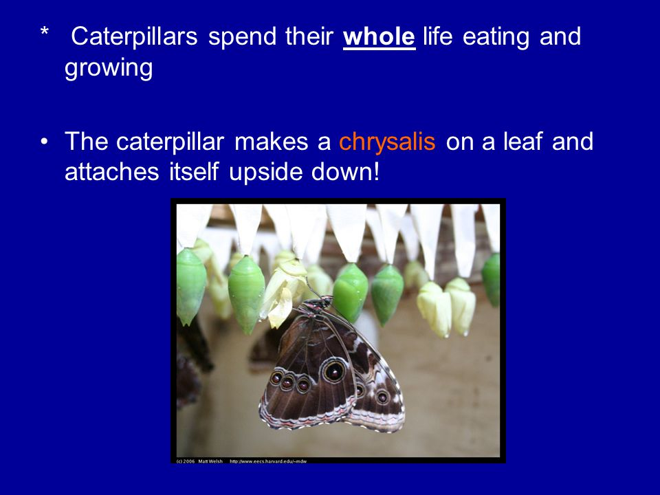 * Caterpillars spend their whole life eating and growing The caterpillar makes a chrysalis on a leaf and attaches itself upside down!