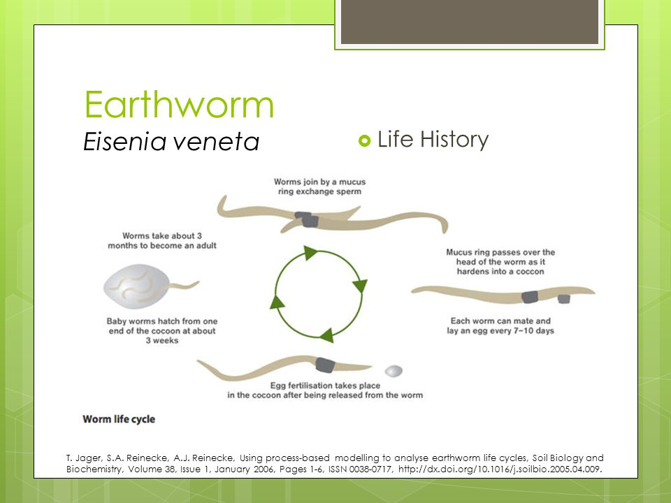 Earthworm Eisenia veneta  Life History T. Jager, S.A. Reinecke, A.J. Reinecke, Using process-based modelling to analyse earthworm life cycles, Soil B