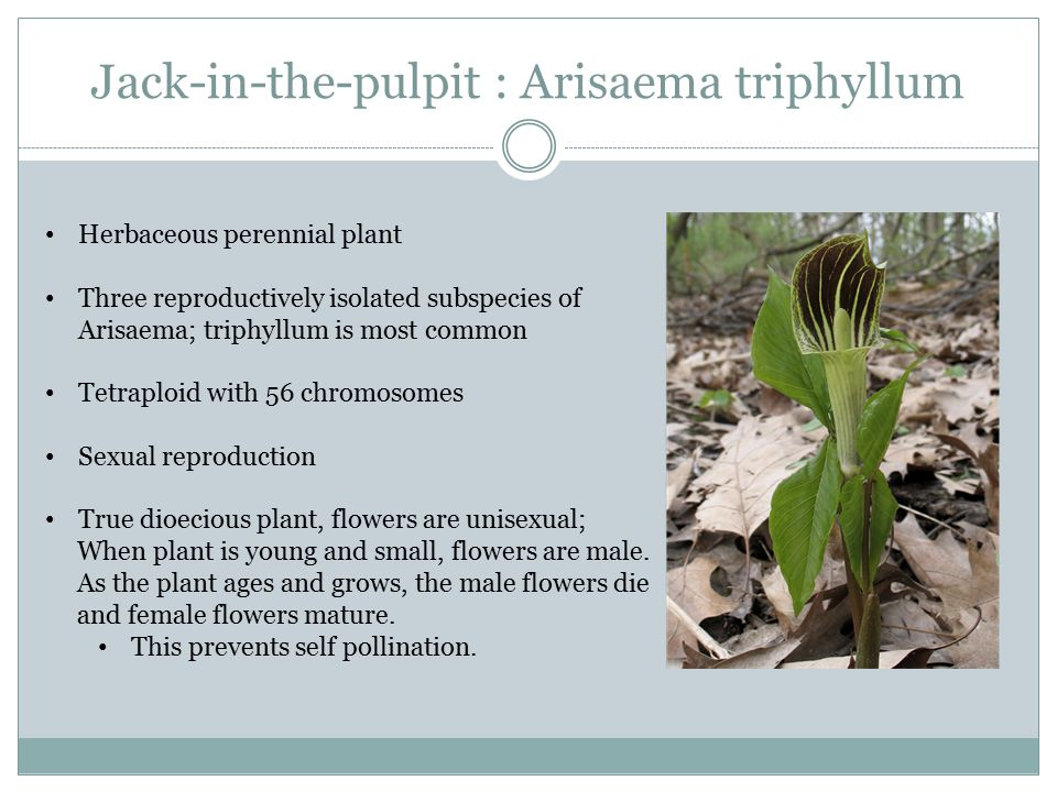 Jack-in-the-pulpit : Arisaema triphyllum Herbaceous perennial plant Three reproductively isolated subspecies of Arisaema; triphyllum is most common Te