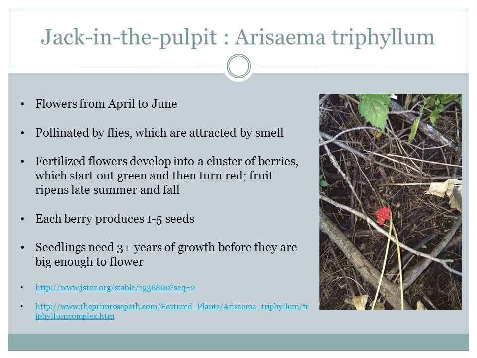 Jack-in-the-pulpit : Arisaema triphyllum Flowers from April to June Pollinated by flies, which are attracted by smell Fertilized flowers develop into