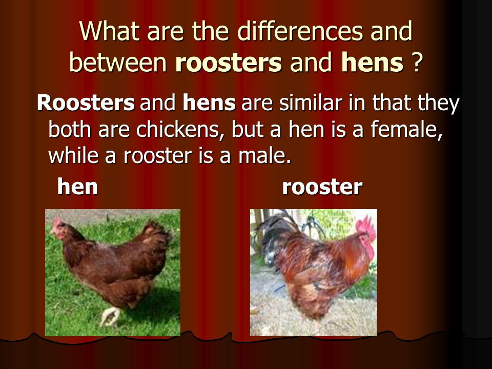 What are the differences and between roosters and hens .