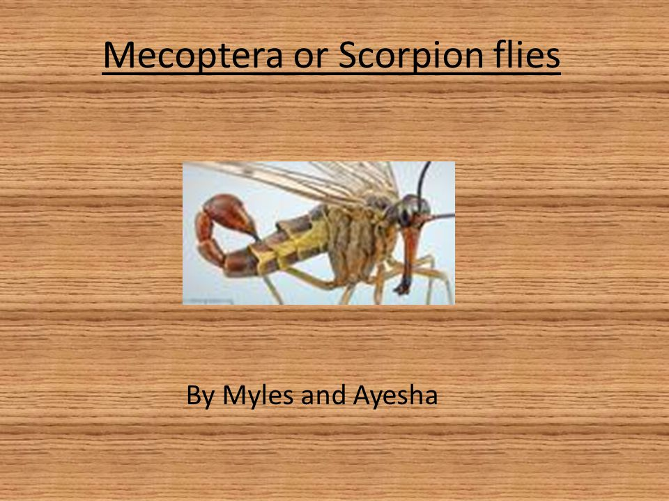 Introduction This is a Power Point all about Scorpion Flies have a good look through it and hope u like it and learn some new stuff!