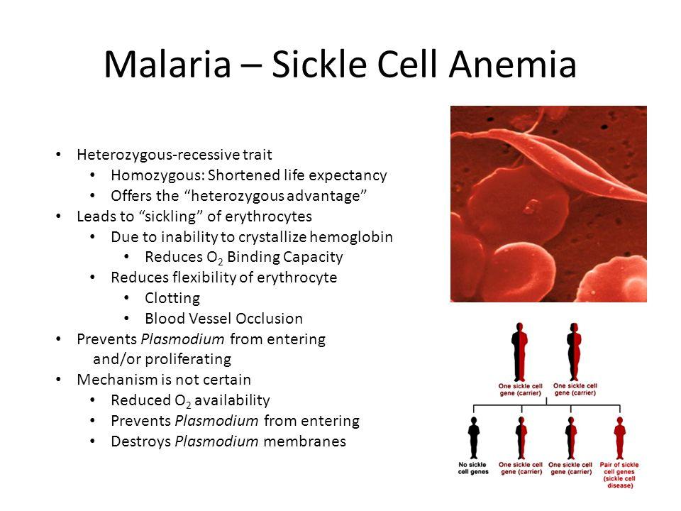 "Malaria – Sickle Cell Anemia Heterozygous-recessive trait Homozygous: Shortened life expectancy Offers the ""heterozygous advantage"" Leads to ""sickling"