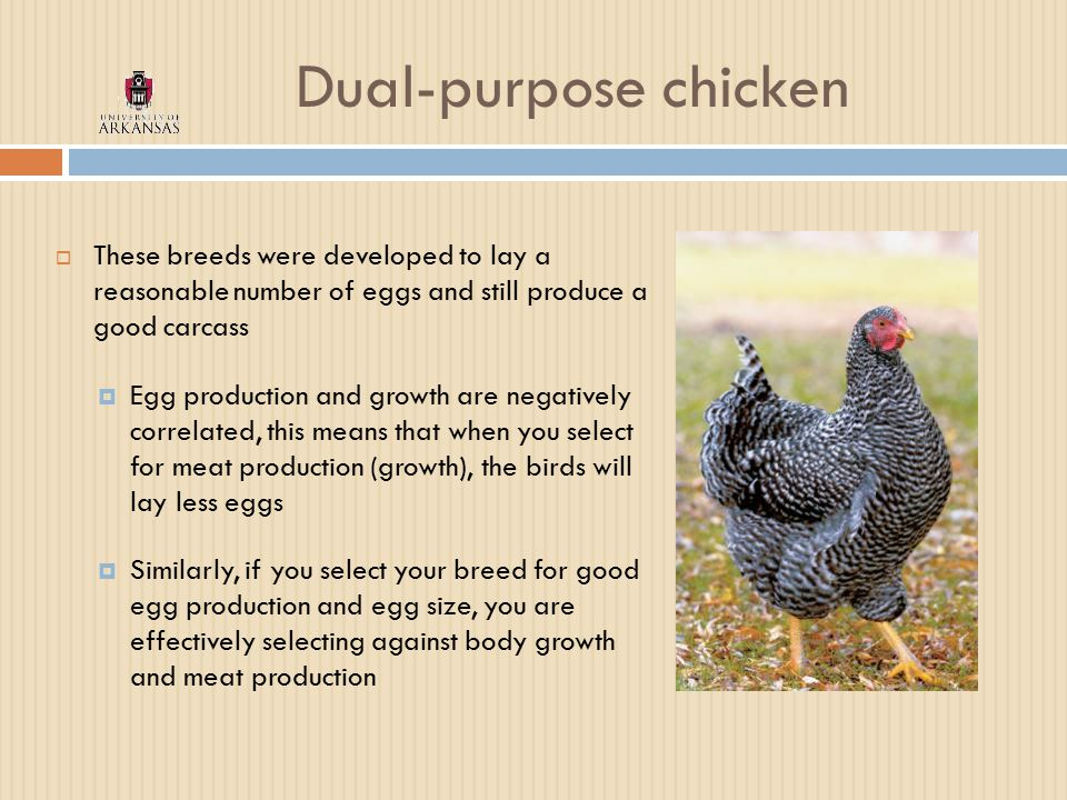 Dual-purpose chicken  These breeds were developed to lay a reasonable number of eggs and still produce a good carcass  Egg production and growth are negatively correlated, this means that when you select for meat production (growth), the birds will lay less eggs  Similarly, if you select your breed for good egg production and egg size, you are effectively selecting against body growth and meat production
