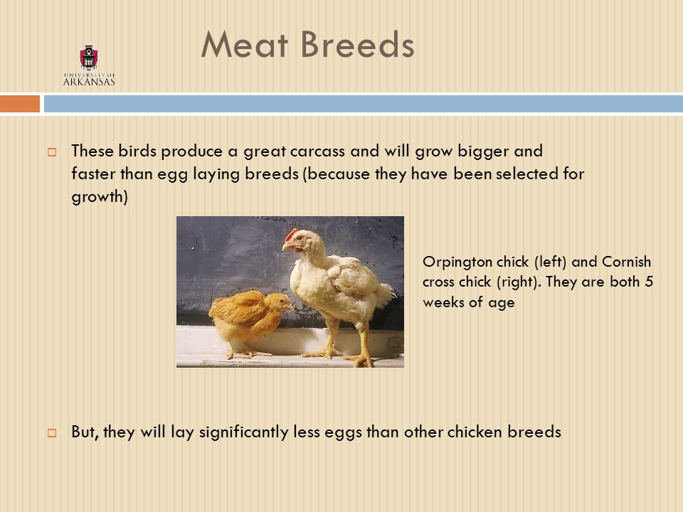 Meat Breeds  These birds produce a great carcass and will grow bigger and faster than egg laying breeds (because they have been selected for growth)  But, they will lay significantly less eggs than other chicken breeds Orpington chick (left) and Cornish cross chick (right).