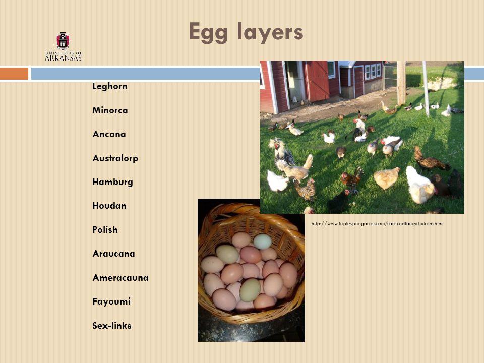 Egg layers Leghorn Minorca Ancona Australorp Hamburg Houdan Polish Araucana Ameracauna Fayoumi Sex-links http://www.triplespringacres.com/rareandfancychickens.htm