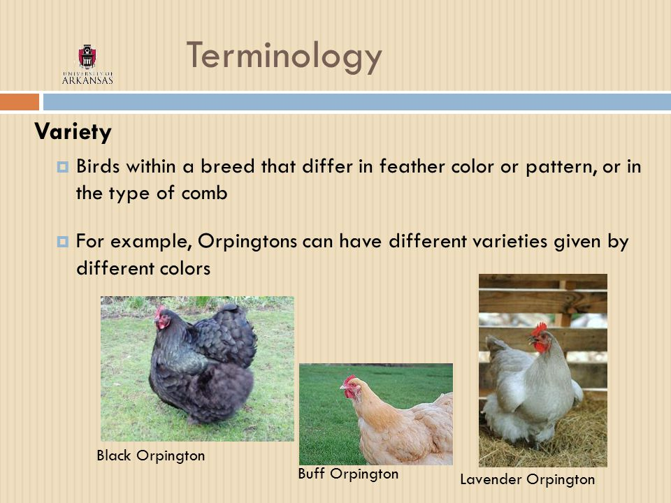 Terminology Variety  Birds within a breed that differ in feather color or pattern, or in the type of comb  For example, Orpingtons can have different varieties given by different colors Black Orpington Buff Orpington Lavender Orpington
