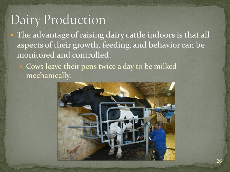 The advantage of raising dairy cattle indoors is that all aspects of their growth, feeding, and behavior can be monitored and controlled.