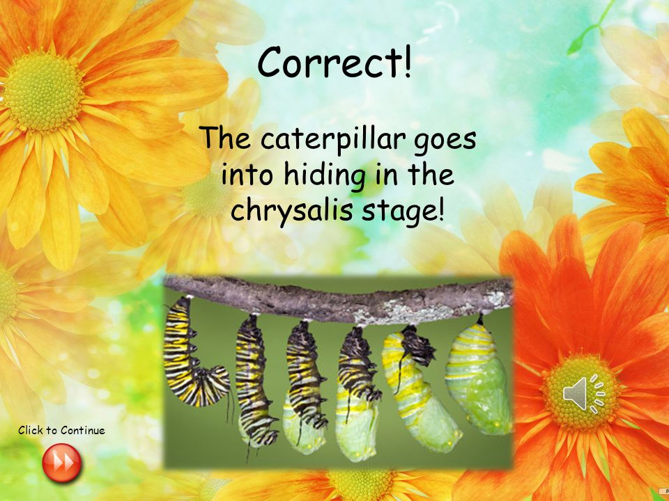 Review Question In what stage of the butterfly life cycle does the caterpillar go into hiding .