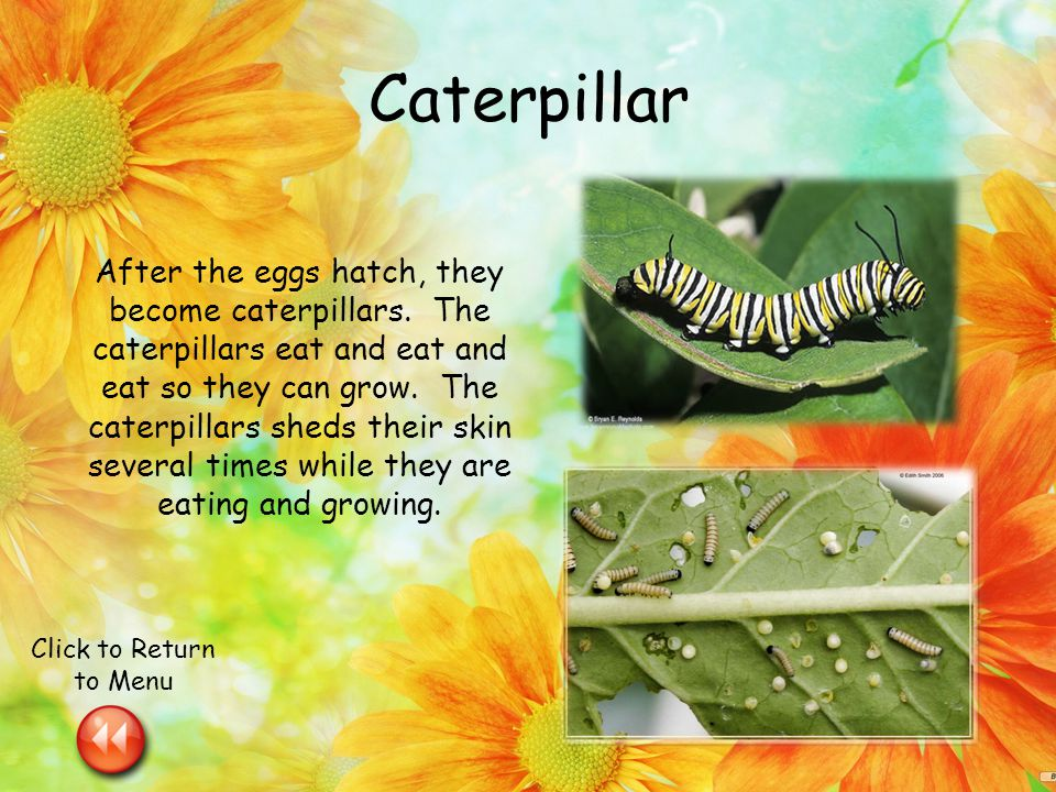 Caterpillar After the eggs hatch, they become caterpillars.