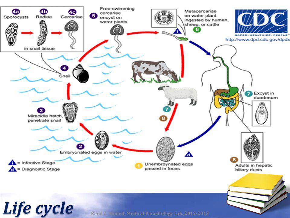 Life cycle Raed Z. Ahmed, Medical Parasitology Lab.,2012-2013