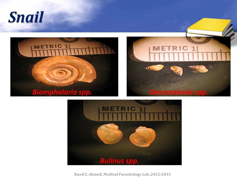 Snail Oncomelania spp.Biomphalaria spp. Bulinus spp. Raed Z. Ahmed, Medical Parasitology Lab.,2012-2013