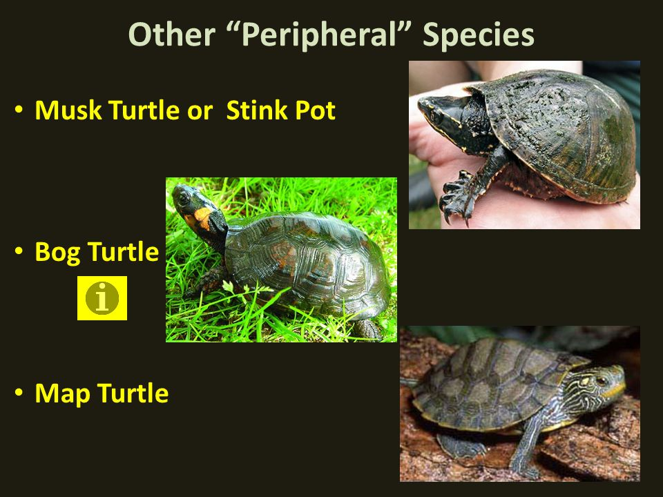 Other Peripheral Species Musk Turtle or Stink Pot Bog Turtle Map Turtle