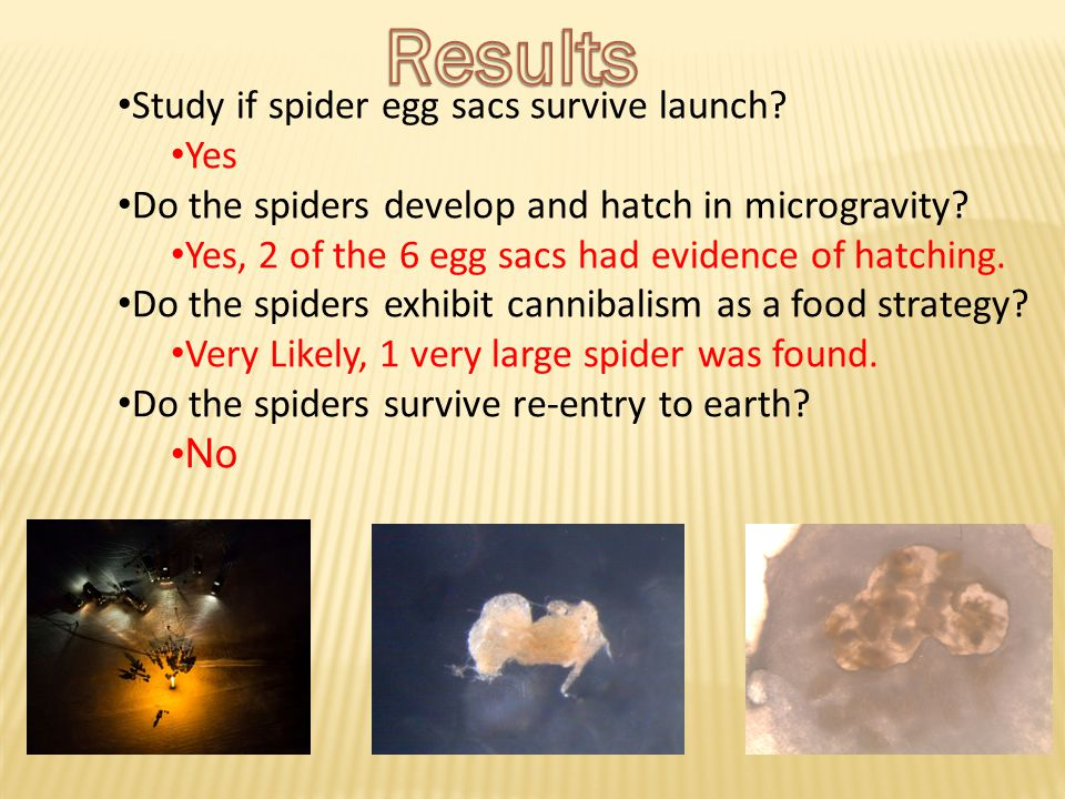 Study if spider egg sacs survive launch? Yes Do the spiders develop and hatch in microgravity? Yes, 2 of the 6 egg sacs had evidence of hatching. Do t