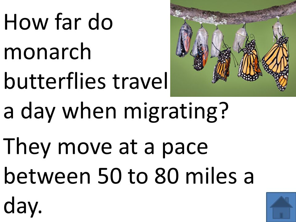 They move at a pace between 50 to 80 miles a day. How far do monarch butterflies travel a day when migrating?