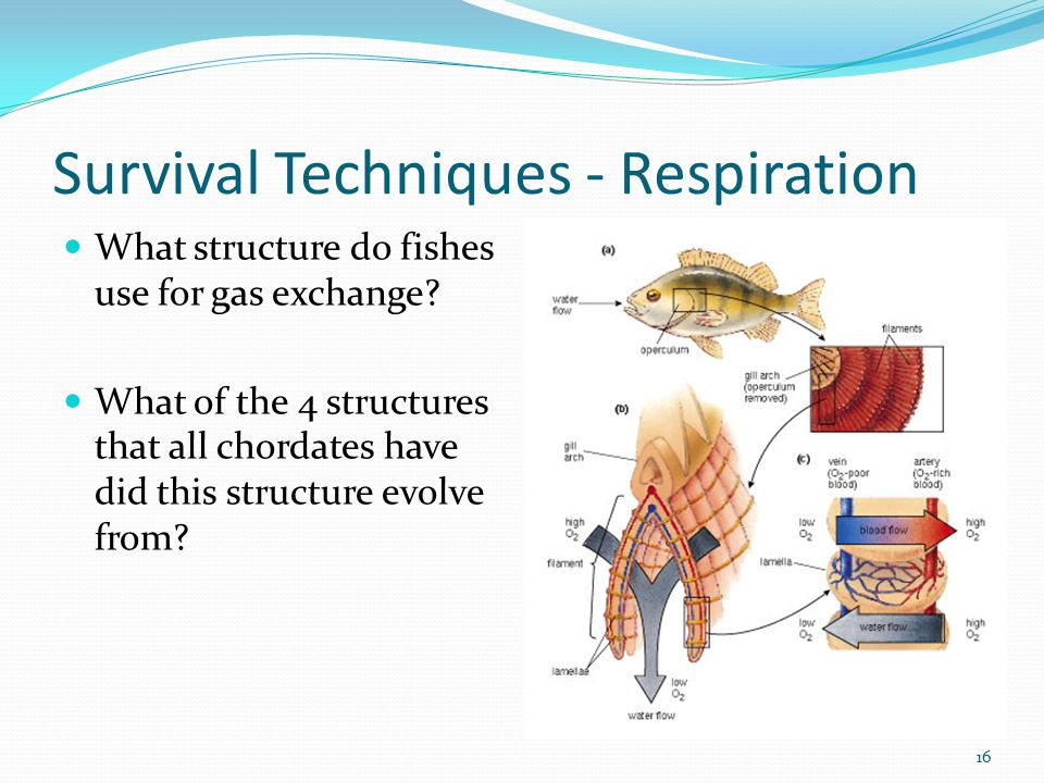Survival Techniques - Respiration What structure do fishes use for gas exchange? What of the 4 structures that all chordates have did this structure e