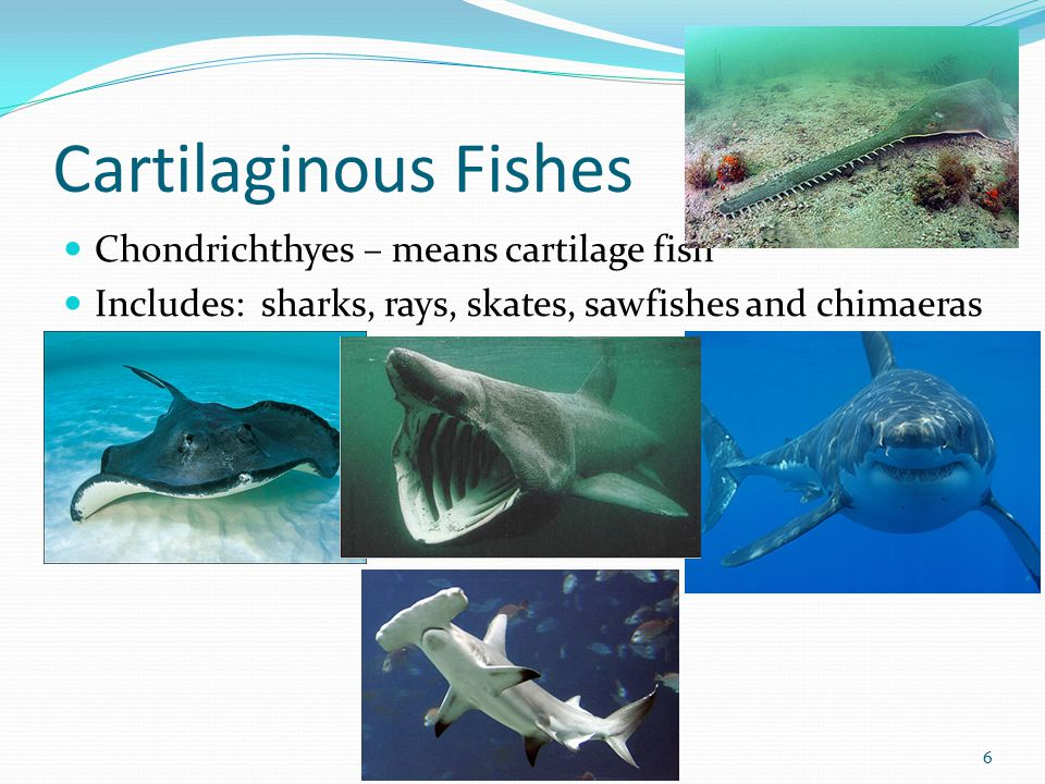 Cartilaginous Fishes Chondrichthyes – means cartilage fish Includes: sharks, rays, skates, sawfishes and chimaeras 6