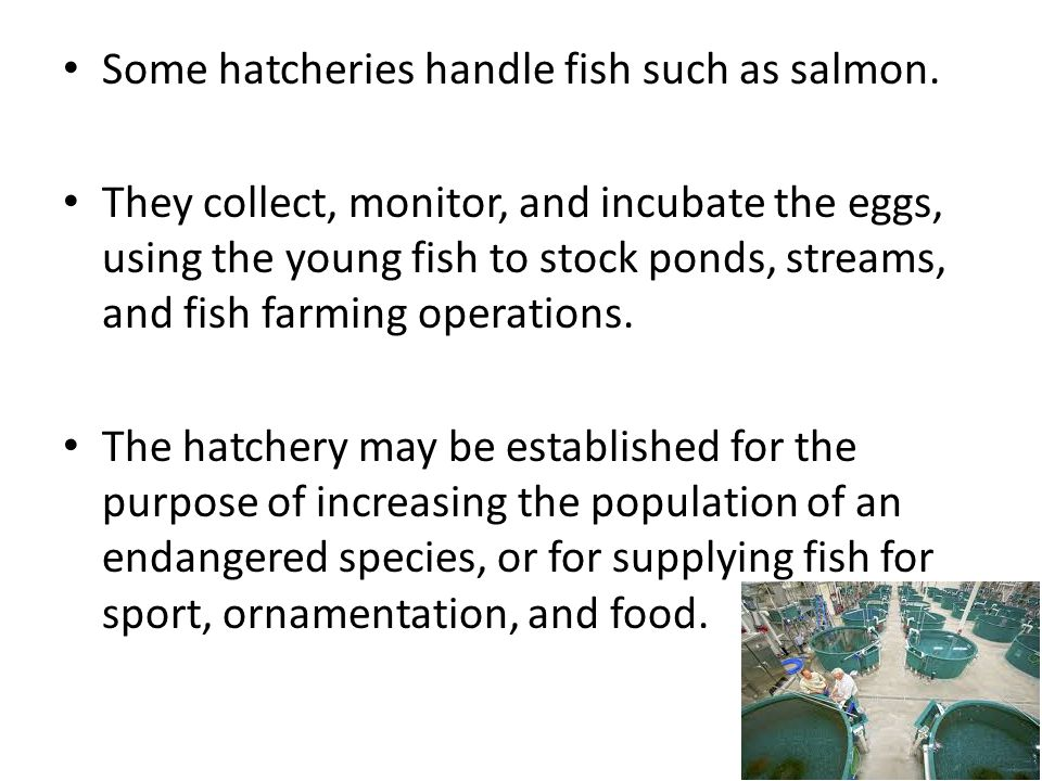 A fish hatchery works to raise baby fish and prepare them for release in another environment for various reasons, as well as for food.