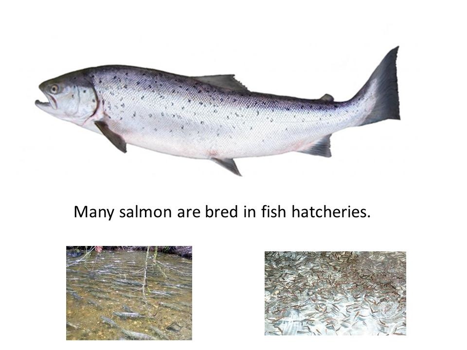 Other hatcheries deal with poultry such as chickens, ducks, geese, and turkeys.
