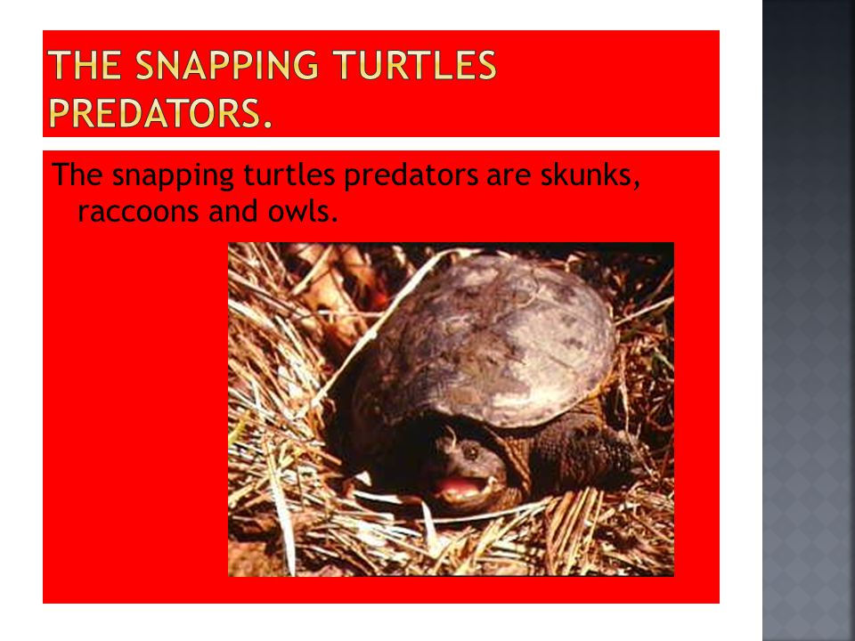 The snapping turtles predators are skunks, raccoons and owls.