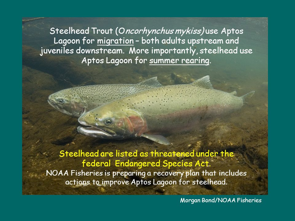 Morgan Bond/NOAA Fisheries Steelhead Trout (Oncorhynchus mykiss) use Aptos Lagoon for migration – both adults upstream and juveniles downstream.