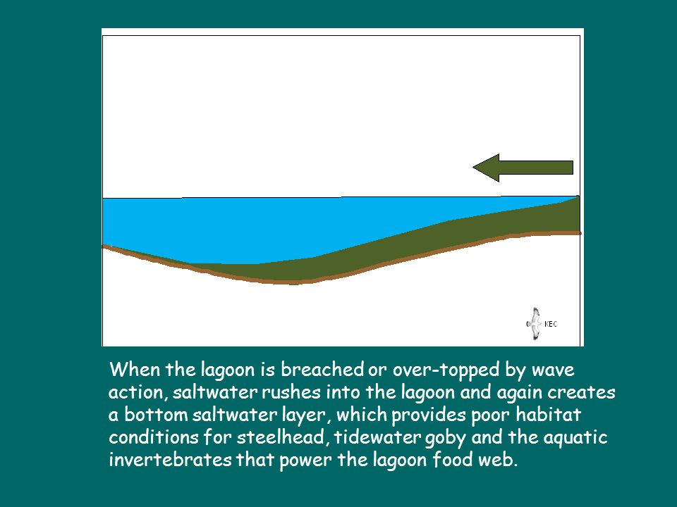 When the lagoon is breached or over-topped by wave action, saltwater rushes into the lagoon and again creates a bottom saltwater layer, which provides poor habitat conditions for steelhead, tidewater goby and the aquatic invertebrates that power the lagoon food web.