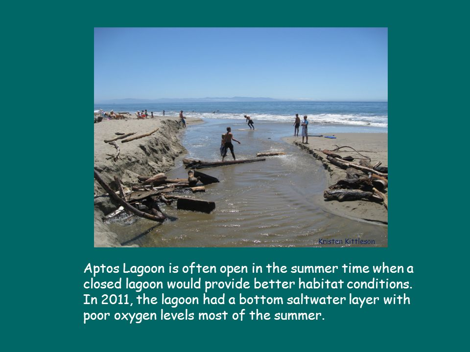 Aptos Lagoon is often open in the summer time when a closed lagoon would provide better habitat conditions.