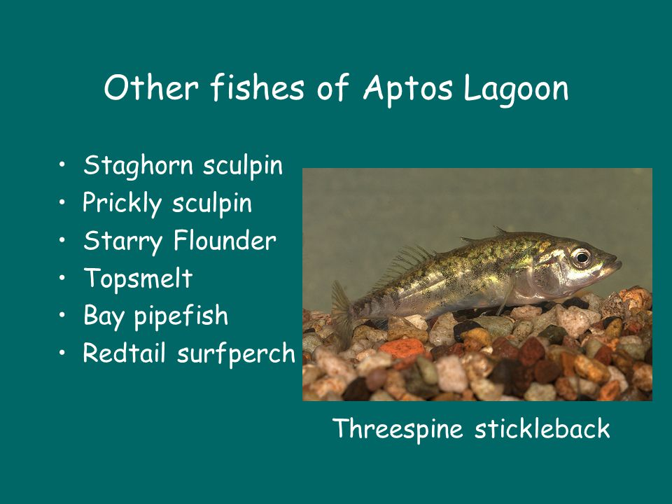 Other fishes of Aptos Lagoon Staghorn sculpin Prickly sculpin Starry Flounder Topsmelt Bay pipefish Redtail surfperch Threespine stickleback