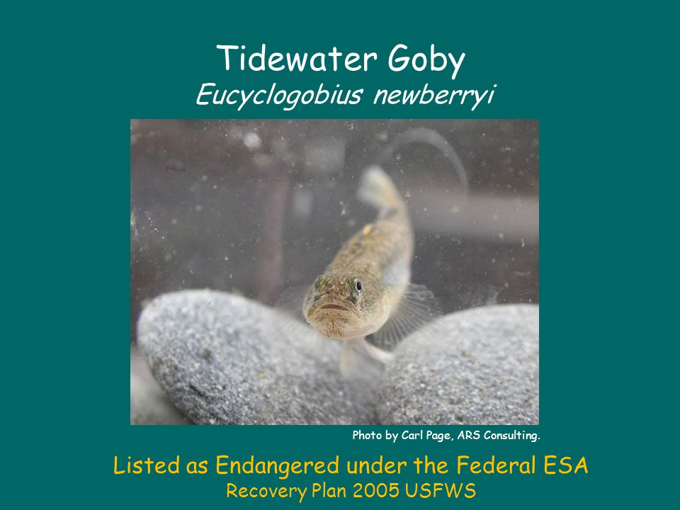 Tidewater Goby Eucyclogobius newberryi Photo by Carl Page, ARS Consulting.