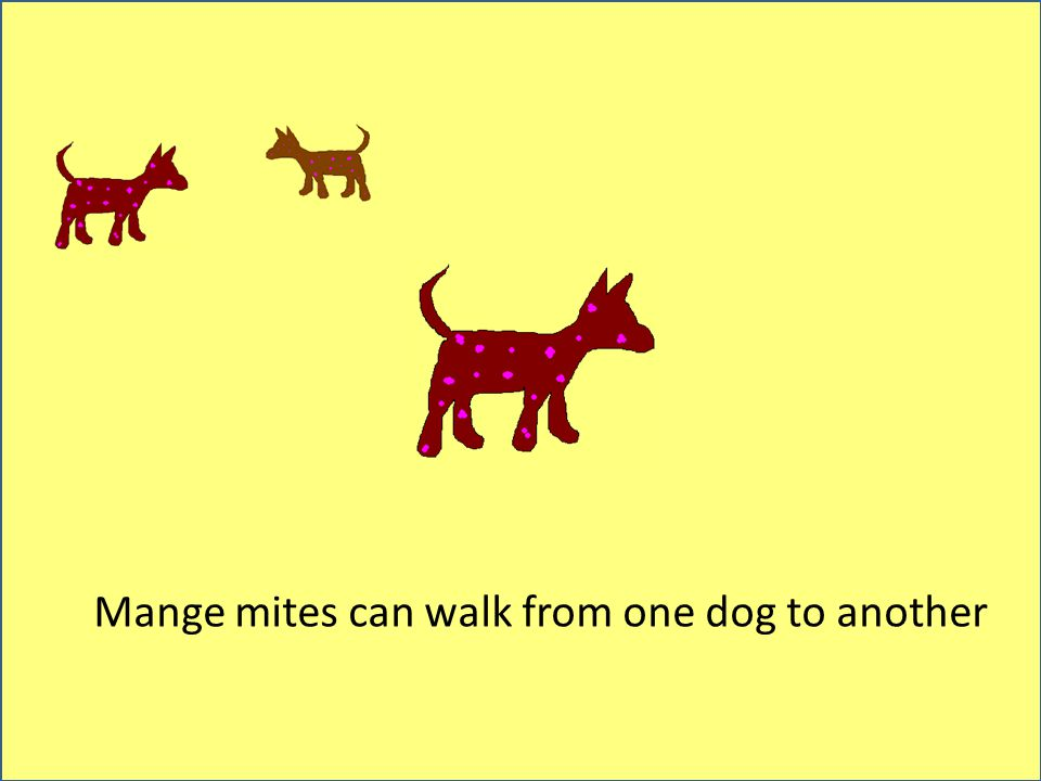 Mange mites can walk from one dog to another