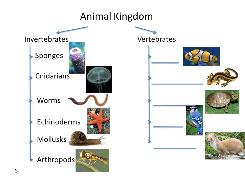 Animal Kingdom InvertebratesVertebrates Sponges Cnidarians Worms Echinoderms Mollusks Arthropods 5