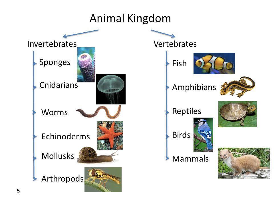 Animal Kingdom InvertebratesVertebrates Sponges Cnidarians Worms Echinoderms Mollusks Arthropods Fish Amphibians Reptiles Birds Mammals 5