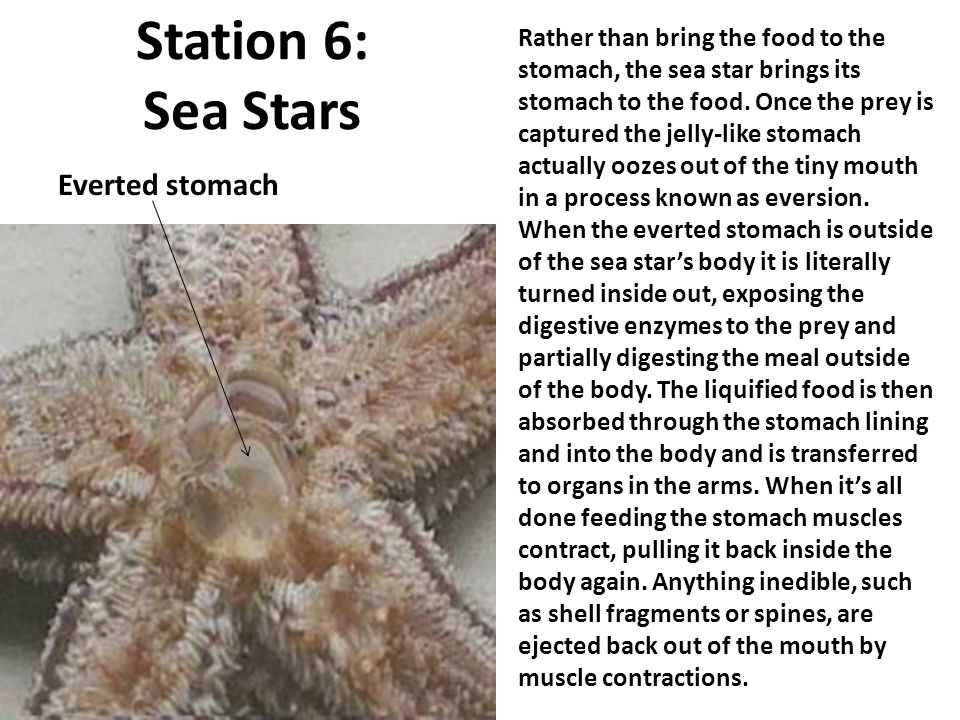 Station 6: Sea Stars Everted stomach Rather than bring the food to the stomach, the sea star brings its stomach to the food. Once the prey is captured